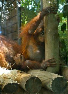 Free Baby Orangutan Royalty Free Stock Photos - 85180478