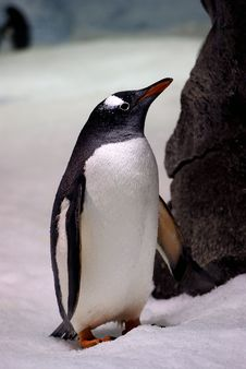Free Gentoo Penguin. &x28;6&x29; Royalty Free Stock Images - 85181519