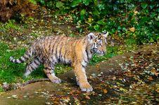 Free Siberian Tiger Cub Stock Image - 85183971