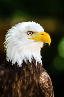 Free Max The Bald Eagle Stock Photography - 85184012
