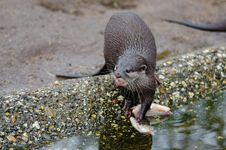 Free Oriental Small-clawed Otter Stock Photo - 85185060