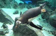 Free Gentoo Penguin. &x28;15&x29; Royalty Free Stock Photo - 85186415