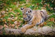 Free Siberian Tiger Cub Royalty Free Stock Image - 85189506