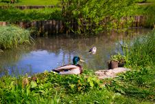 Free Wild Ducks In A Pond Royalty Free Stock Photo - 85190175