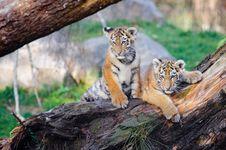 Free Siberian Tiger Cubs Stock Image - 85190531