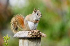 Free Red Squirrel &x28;Tamiasciurus Hudsonicus&x29; Stock Images - 85190654