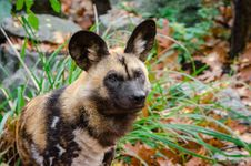 Free African Wild Dog Stock Image - 85190961