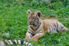 Free Siberian Tiger Cub Royalty Free Stock Images - 85192109