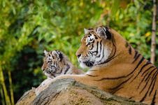 Free Siberian Tiger Mom With Cub Stock Photography - 85192462
