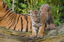 Free Siberian Tiger Cub Royalty Free Stock Image - 85192546