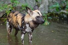 Free African Wild Dog Stock Photos - 85197673