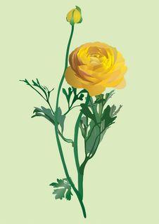 Free Blossoming Plant Of Kupalnitsa European Trollius Stock Image - 8521601