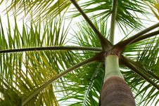 Free Palm Tree Top Royalty Free Stock Photos - 8522208