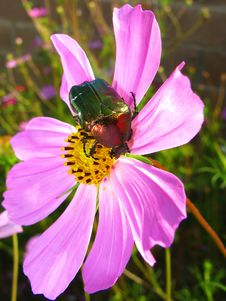 Flower And Beetle Royalty Free Stock Photos