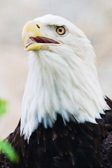 Free Bald Eagle Royalty Free Stock Image - 8522876