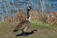 Free Canada Goose Stock Image - 8523121