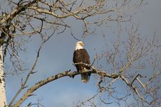 Free Bald Eagle Royalty Free Stock Image - 8523776