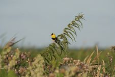 Free Male American Goldfinch Among Thistle Stock Photography - 8523842