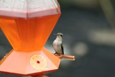 Free Female Ruby-throated Hummingbird Stock Images - 8524534
