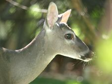 Free O Deer Natures Beauty. Stock Photography - 8526462
