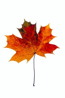 Free Maple Leaf Stock Photos - 8526953
