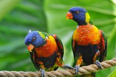 Free Rainbow Lorikeet Royalty Free Stock Images - 8527239