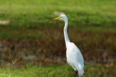 Free Great White Egret Royalty Free Stock Photos - 8528948