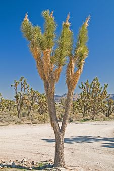 Free Joshua Tree Stock Photos - 8529543