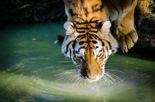 Free Drinking Tiger Royalty Free Stock Photos - 85201678