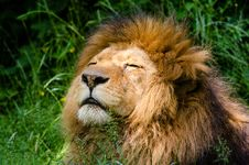 Free African Lion Stock Photos - 85203673