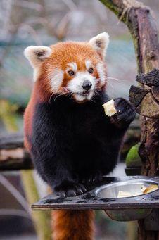Free Red Panda Stock Photography - 85203972
