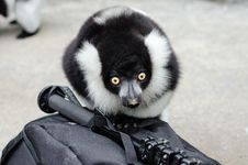 Free Black And White Ruffed Lemur Royalty Free Stock Photography - 85204857