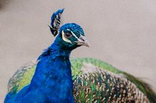 Free Peacock Royalty Free Stock Image - 85204896
