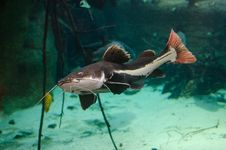 Free Redtail Catfish Stock Photography - 85204962