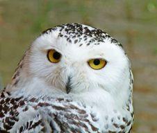 Free Snowy Owl &x28;bubo Scandiaca&x29; Royalty Free Stock Photo - 85205045