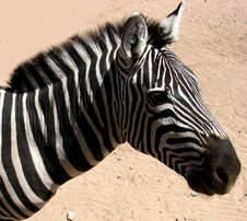 Free Zebra Head Royalty Free Stock Images - 85205459