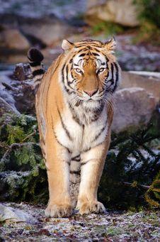 Free Siberian Tiger Stock Image - 85206571