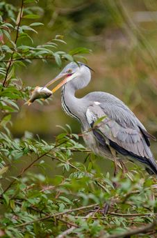 Free Grey Heron Stock Photography - 85207942