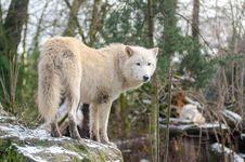 Free Hudson Bay Wolf Royalty Free Stock Photos - 85209538