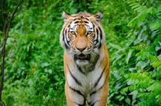 Free Siberian Tiger Stock Photo - 85210310