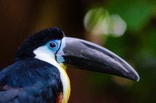 Free Channel-billed Toucan Stock Photo - 85210620