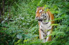 Free Siberian Tiger Stock Image - 85212481