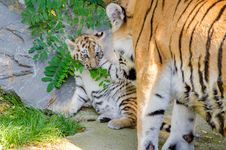 Free Tiger Cub Royalty Free Stock Photography - 85215567