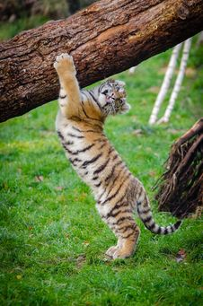 Free Siberian Tiger Cub Royalty Free Stock Image - 85216076