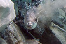 Free Gentoo Penguin. &x28;23&x29; Stock Image - 85216361