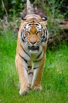 Free Siberian Tiger Royalty Free Stock Photo - 85217195