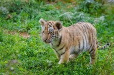 Free Siberian Tiger Cub Stock Images - 85223984