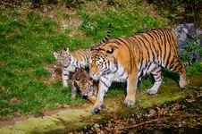 Free Siberian Tiger Family Royalty Free Stock Image - 85224556