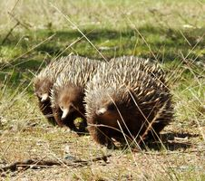Free Echidnas On The March Stock Images - 85254484