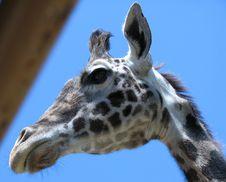 Free Giraffe Head Stock Images - 85259664